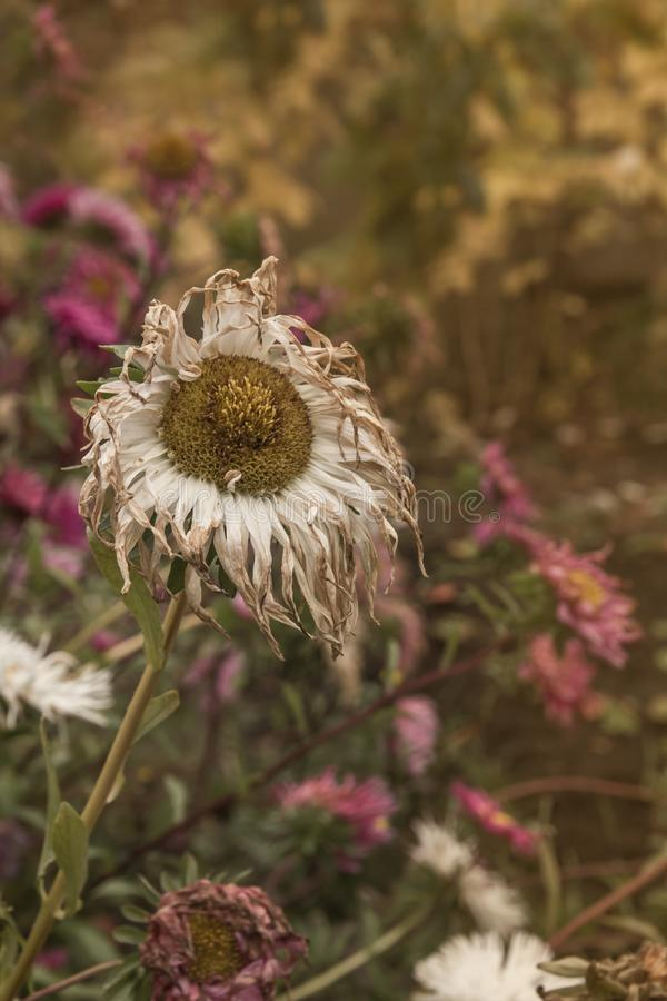 Fading asters stock photography
