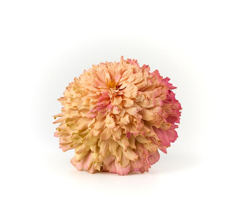 fading bud of pink zinnia on a white background stock image