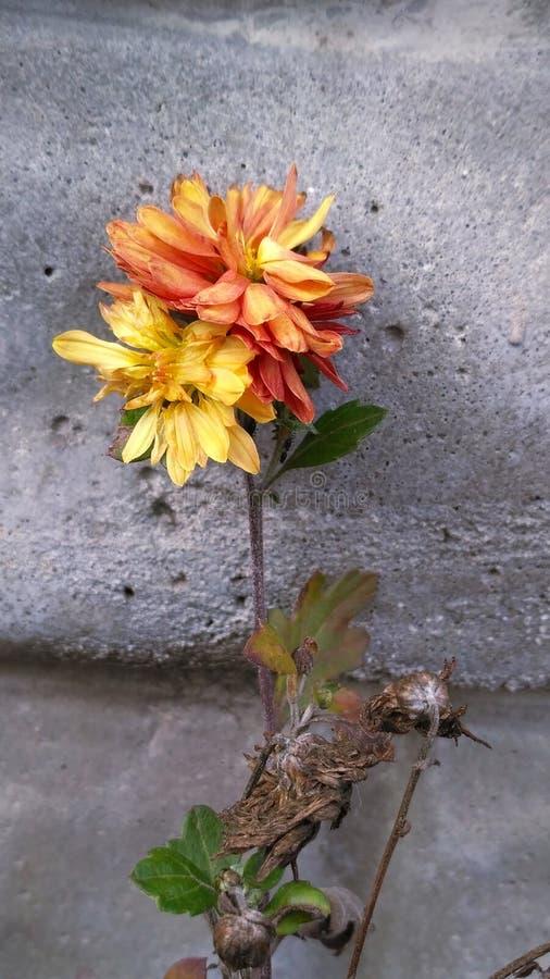 Fading chrysantemums stock photos