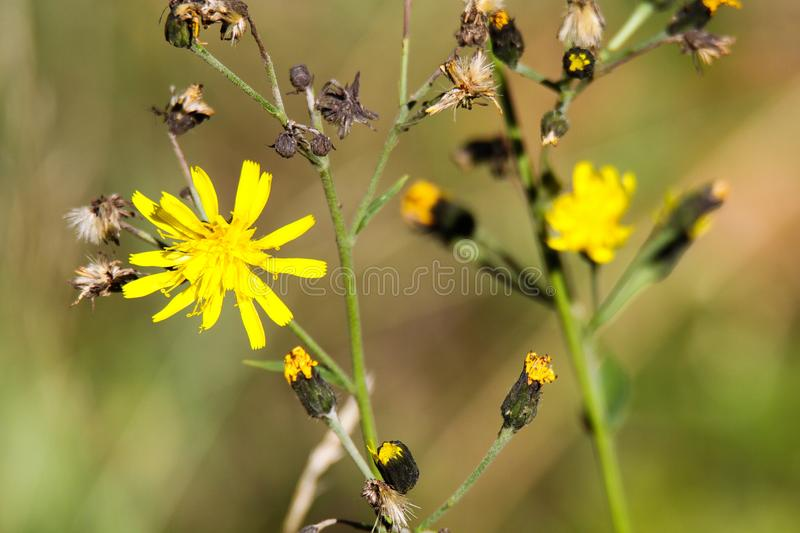 Fading dry dandelion flower Leontodon with last yellow blossoms in autumn - Viersen, Germany stock images