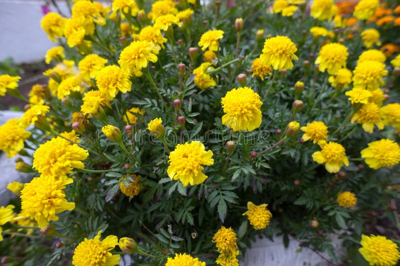 Fading flowers of yellow tagetes from above. royalty free stock images