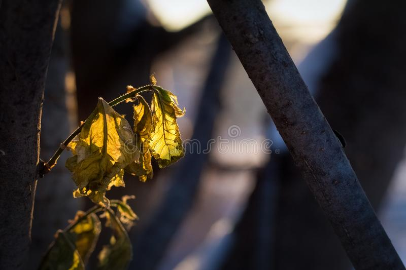 Fading leaves in the sun in the first winter days. The photo of the winter forest in cold tones.fading leaves in the sun in the first winter days royalty free stock photos