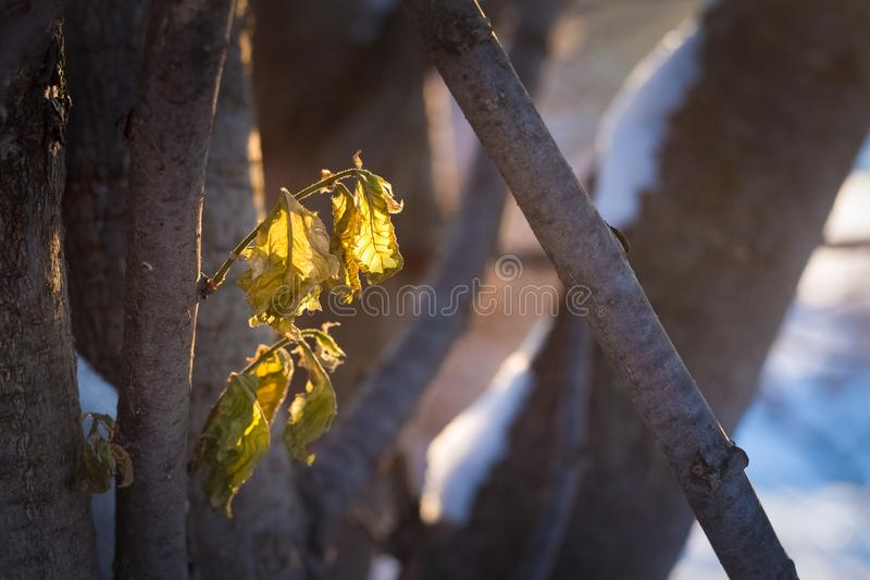 Fading leaves in the sun in the first winter days. The photo of the winter forest in cold tones.fading leaves in the sun in the first winter days stock image