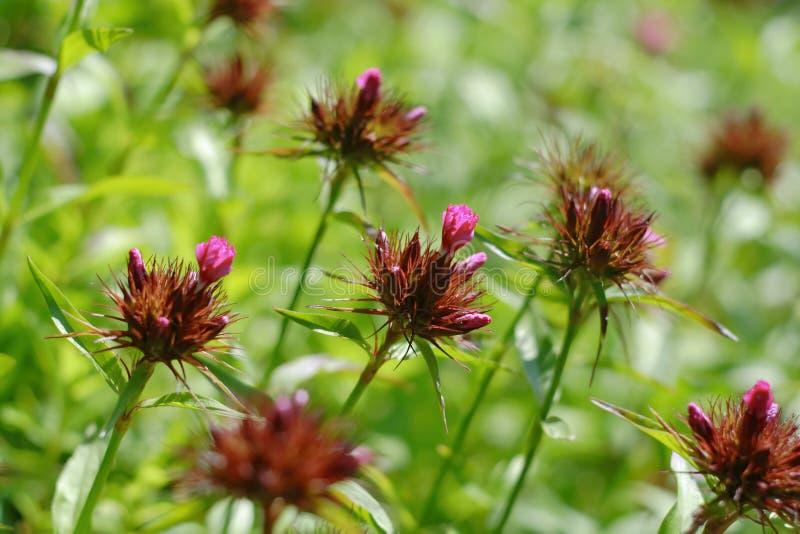 Fading Sweet William plants (Dianthus barbatus) royalty free stock images