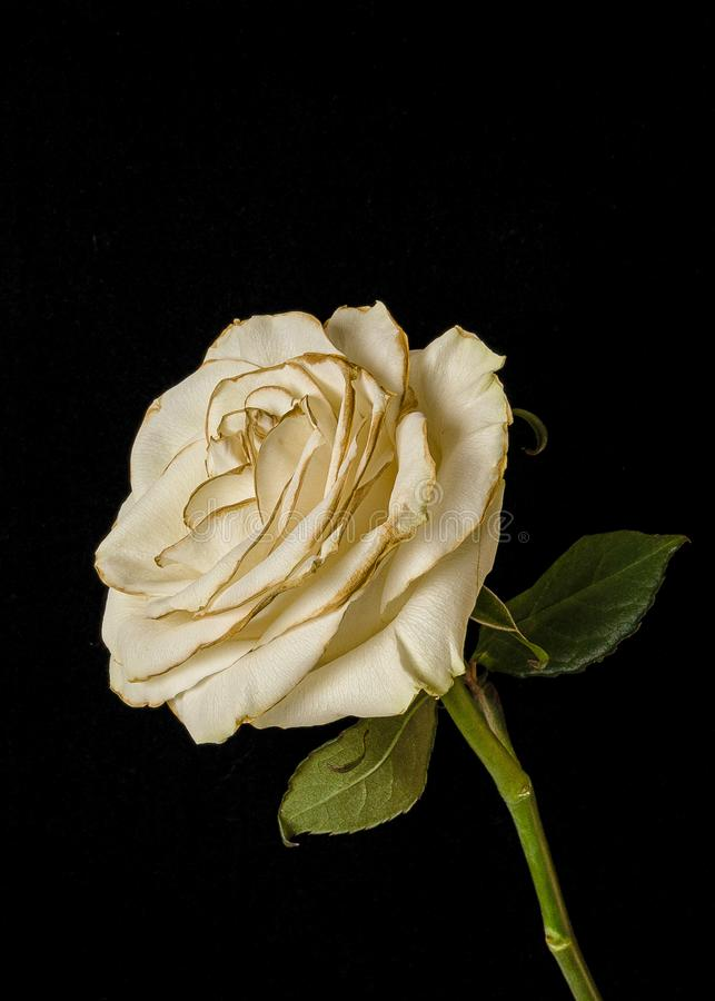 Fading white rose isolated on black background stock photo