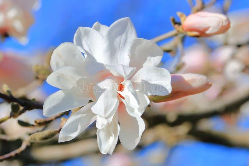 Fadingu Magnoliowy okwitnięcie w wiośnie obraz stock