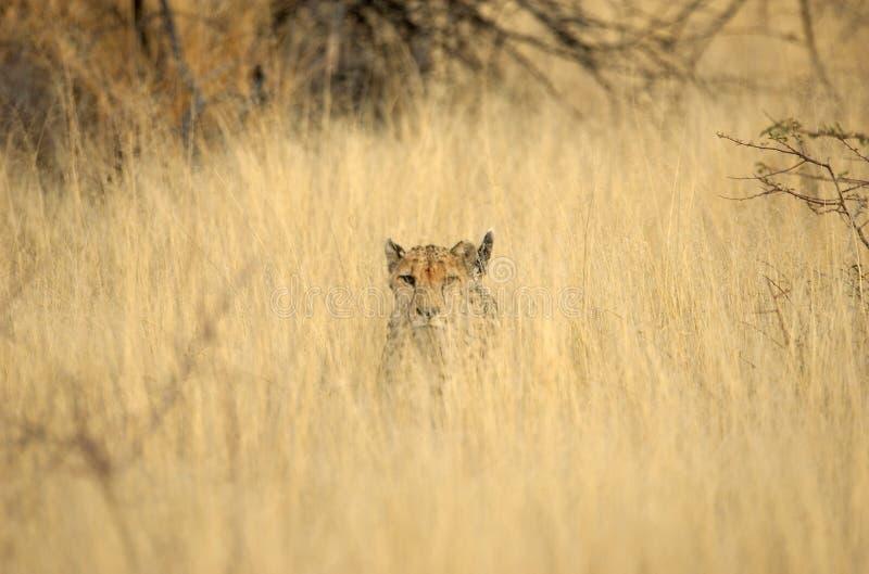 faeced的猎豹 库存图片