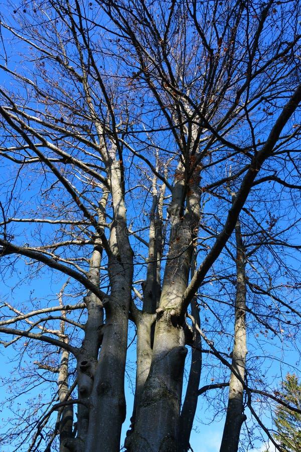 Faggio comune nudo in autunno, sylvatia del fagus e cielo blu recenti immagini stock libere da diritti