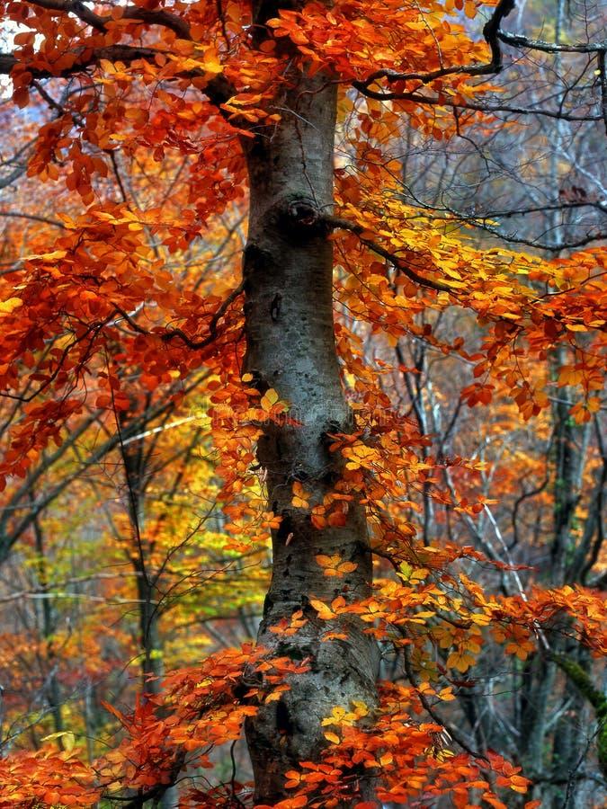Download Faggio di autunno fotografia stock. Immagine di grande - 7324336