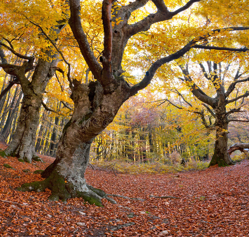 Faggio enorme nella foresta fotografia stock