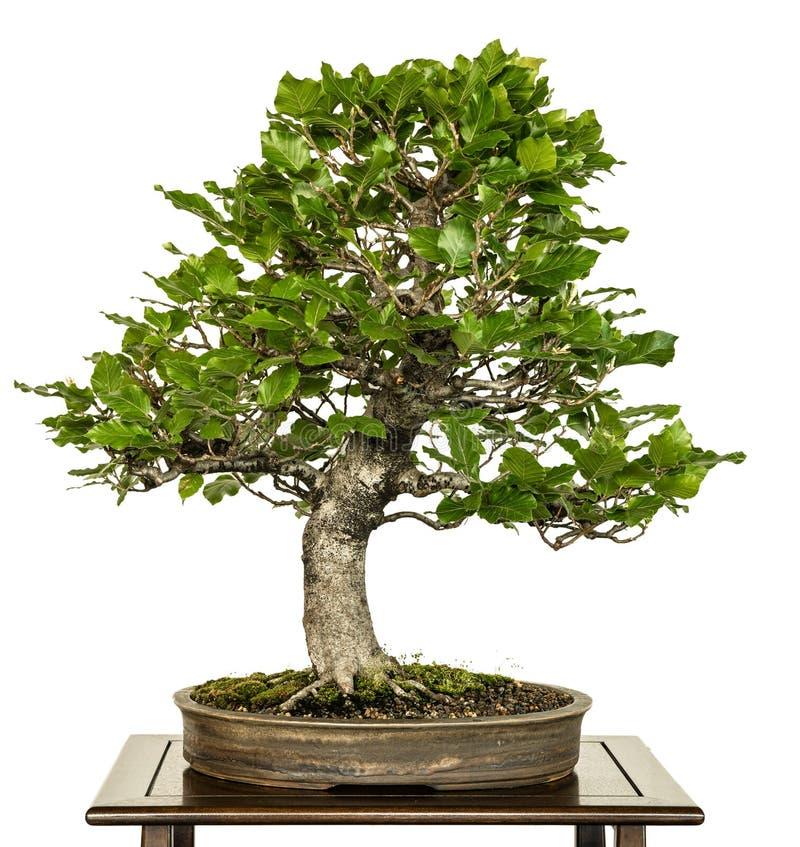Faggio europeo come albero dei bonsai immagini stock libere da diritti