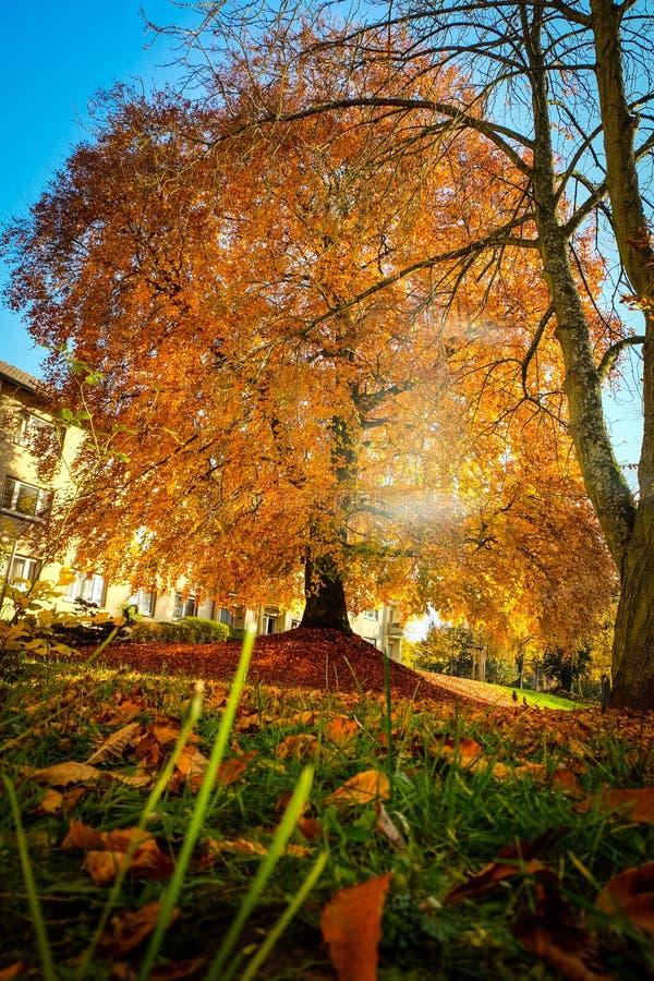 Faggio europeo nei bei colori di autunno immagine stock libera da diritti