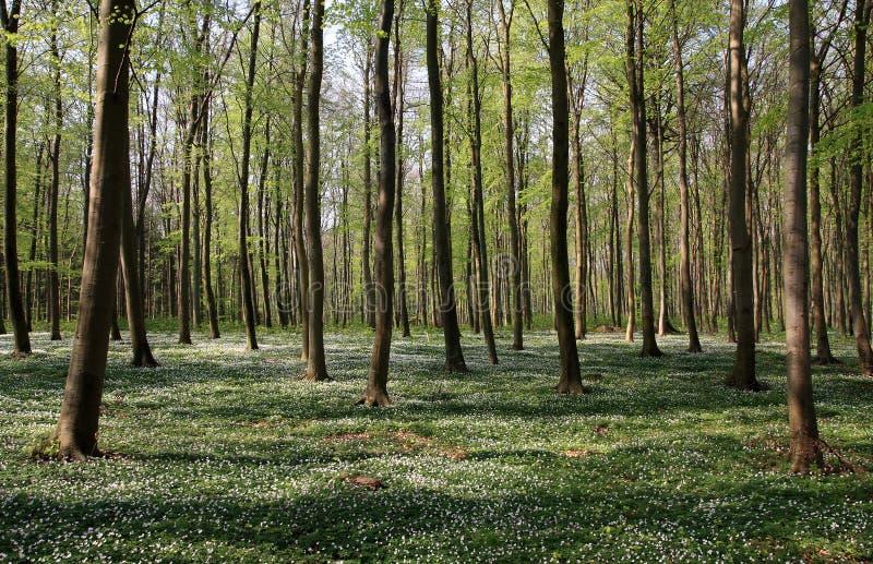 Faggio-foresta immagine stock libera da diritti