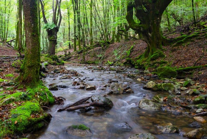 Faggio lungo il fiume di Bianditzko nella foresta di Artikutza immagine stock libera da diritti