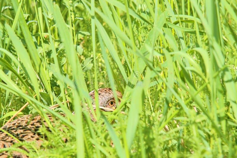 Fagiano comune della femmina che si siede nel suo nido in erba fotografie stock