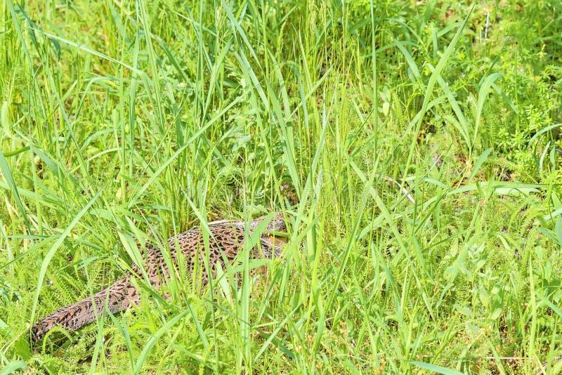 Fagiano comune della femmina che si siede nel suo nido in erba fotografie stock libere da diritti