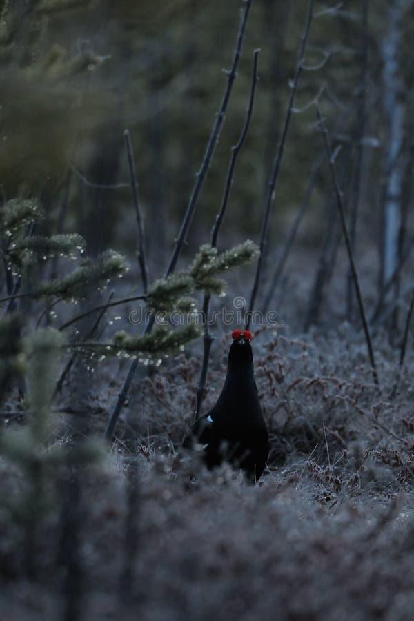 Fagiano di monte maschio al posto sollecitante della palude prima dell'alba immagini stock