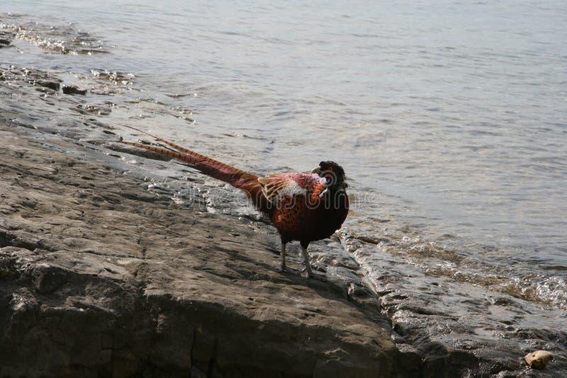 Fagiano rosso sull'isola di Vido immagini stock