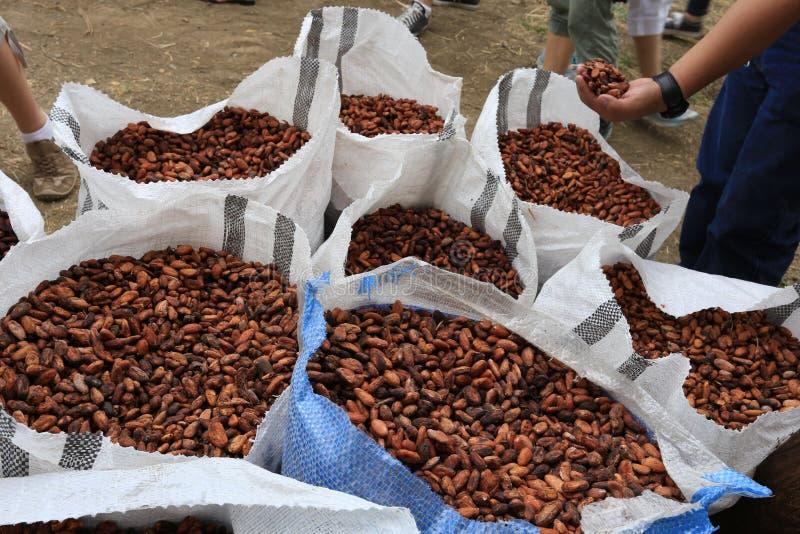 Fagioli del cacao in sacchi immagini stock