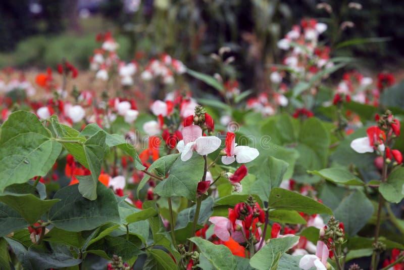 Fagioli turchi durante la fioritura fotografie stock