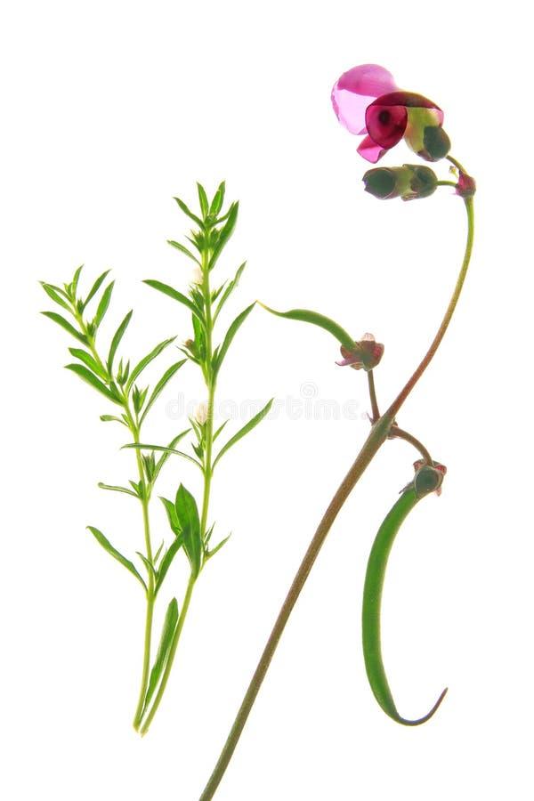 Fagiolo di cespuglio di fioritura immagini stock