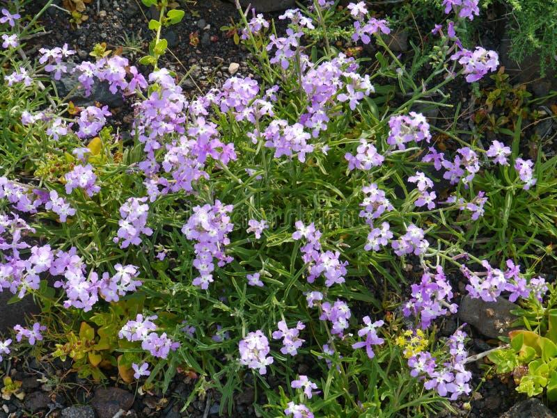 Fagonia cretica lub dziewicy salopa zdjęcia stock