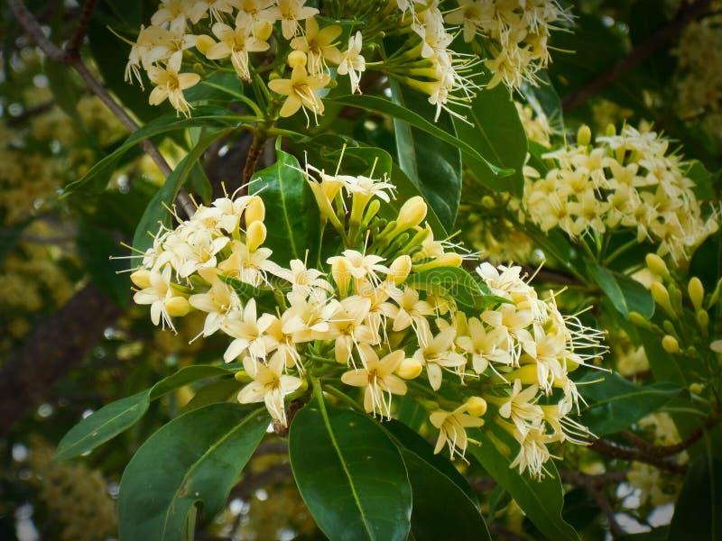Fagraea fragrans Roxb stock foto