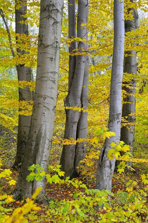 Fagus sylvatica di faggio L degli alberi Nella caduta fotografia stock