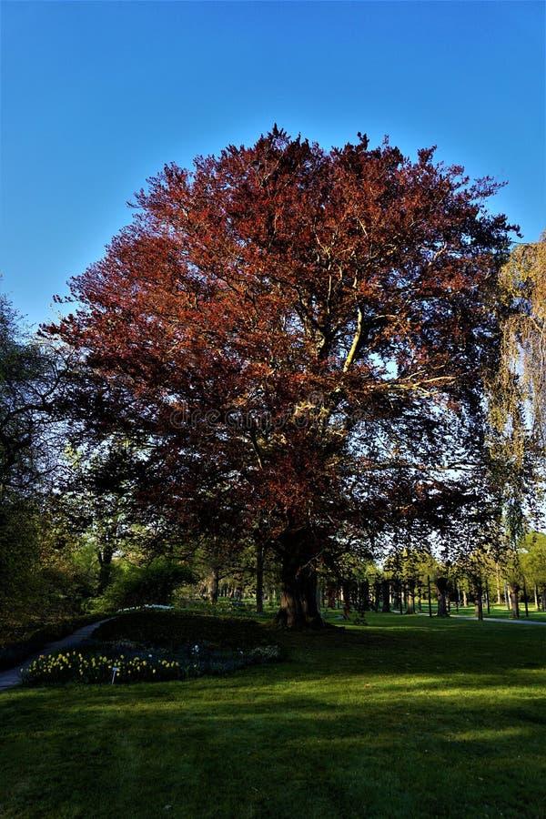 Fagus sylvatica drzewo purpurowe plamiste w parku fotografia stock