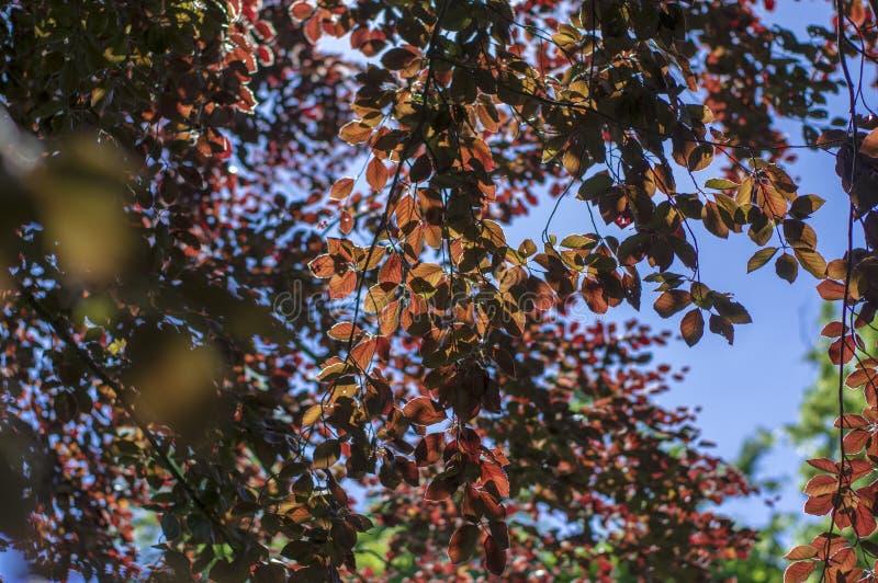 Fagus sylvatica purpurea Baumaste, schöner dekorativer Buchenbaum, kupferne Buche mit purpurroten Blättern stockfotos