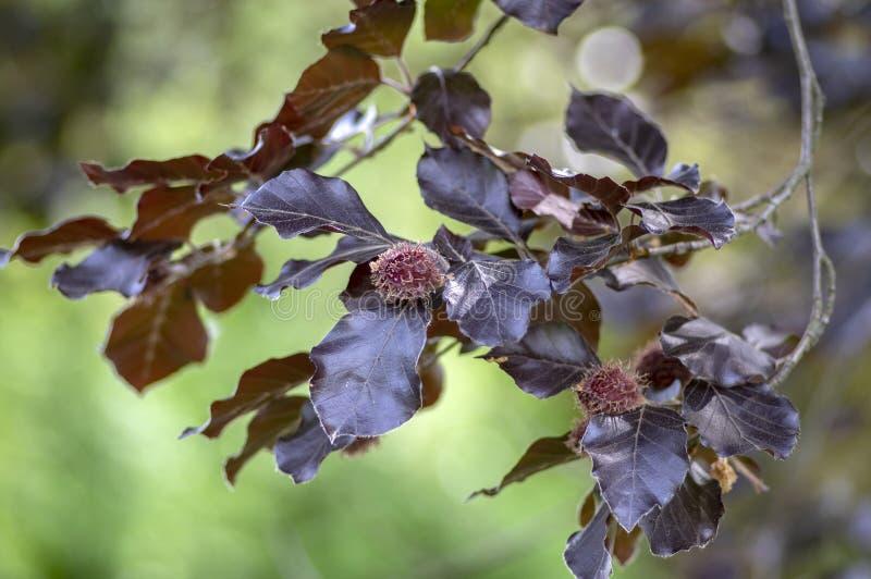 Fagus sylvatica purpurea Baumaste, schöner dekorativer Buchenbaum, kupferne Buche mit purpurroten Blättern stockbilder