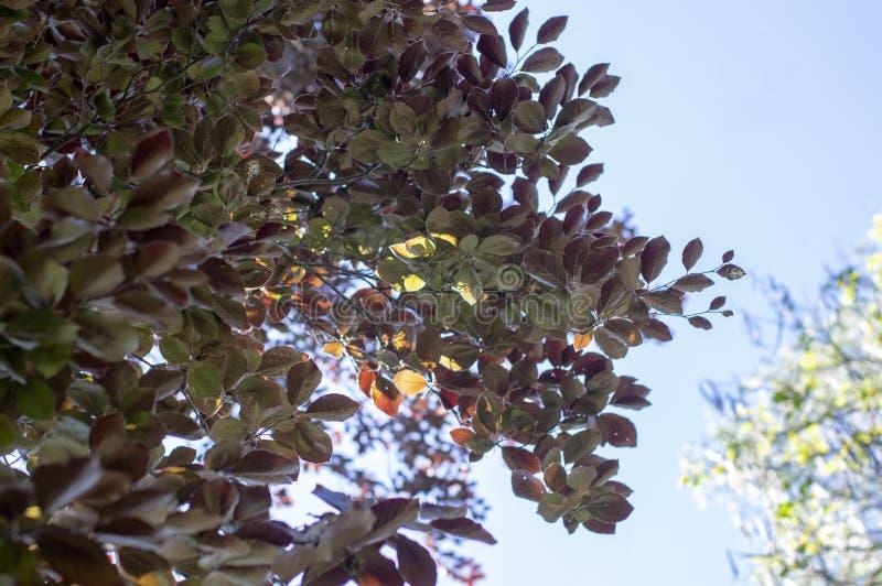 Fagus sylvatica purpurea Baumaste, schöner dekorativer Buchenbaum, kupferne Buche mit purpurroten Blättern stockfoto