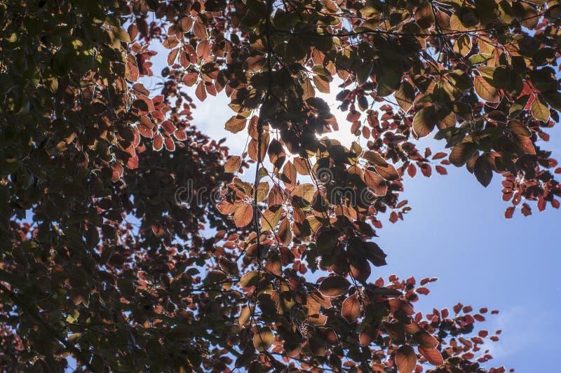 Fagus sylvatica purpurea Baumaste, schöner dekorativer Buchenbaum, kupferne Buche mit purpurroten Blättern lizenzfreie stockfotografie