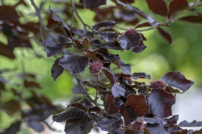 Fagus sylvatica purpurea Baumaste, schöner dekorativer Buchenbaum, kupferne Buche mit purpurroten Blättern lizenzfreies stockbild