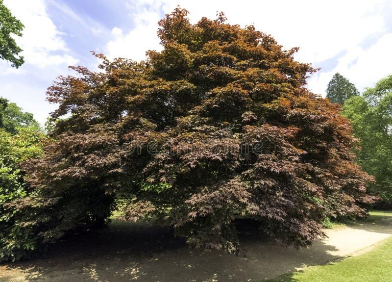 Fagus Sylvatica Purpurea, także znać jako Miedziany buk lub Purpurowy buk zdjęcia royalty free