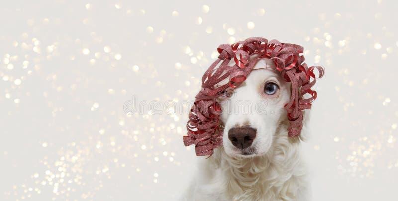 Fahnenhund, der das Weihnachten, Geburtstag, neues Jahr oder Karnevalspartei tragen ein rotes Bandgeschenk wie Perücke feiert Lok stockfotografie