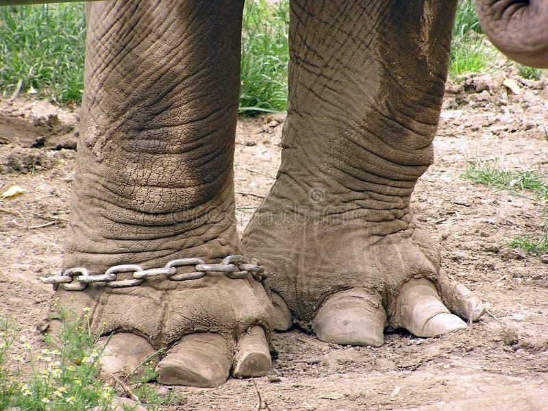 Fahrwerkbeine von einem Elefanten in der Kette stockbild