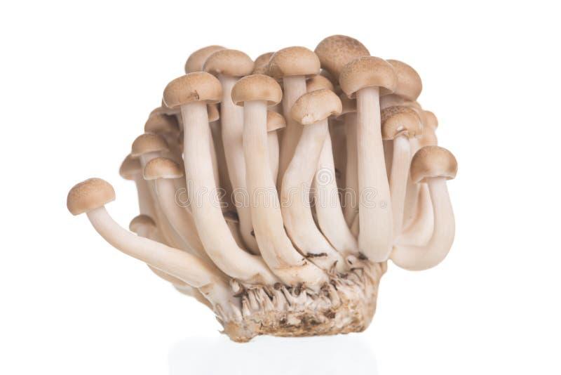 A faia de Brown cresce rapidamente ou cogumelo de Shimeji no fundo branco fotografia de stock royalty free