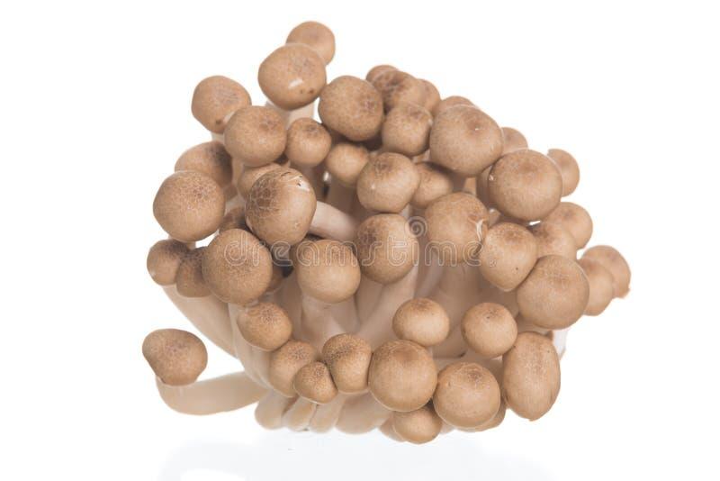 A faia de Brown cresce rapidamente ou cogumelo de Shimeji no fundo branco foto de stock
