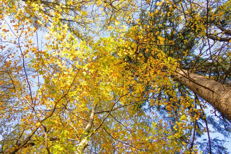 A faia deixa a cor em mudança em Autumn Sunshine, vista de baixo de fotos de stock