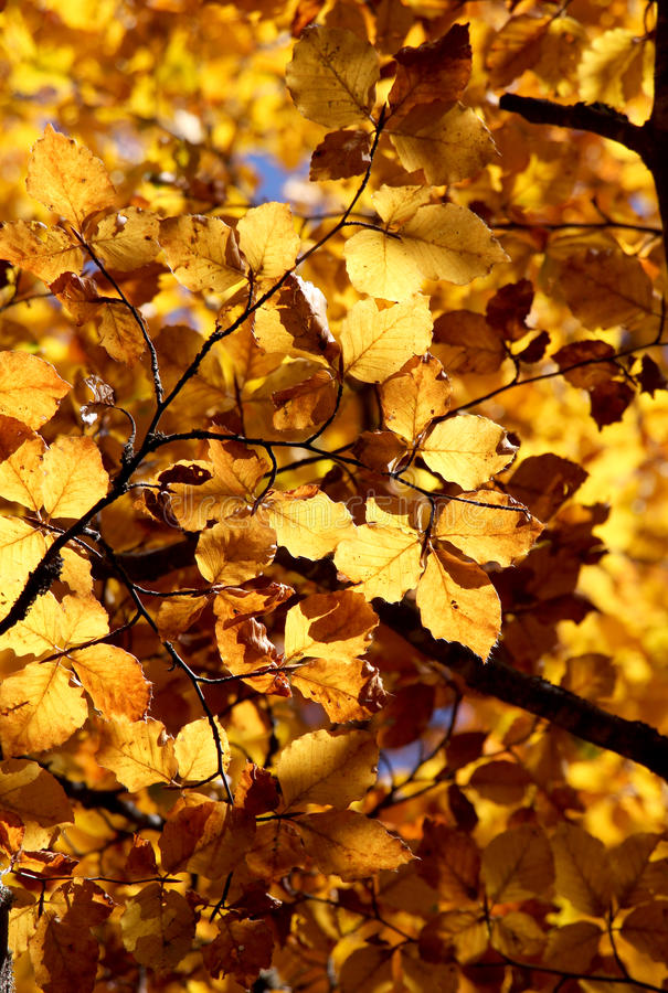 Faias no outono, detalhe das folhas fotografia de stock