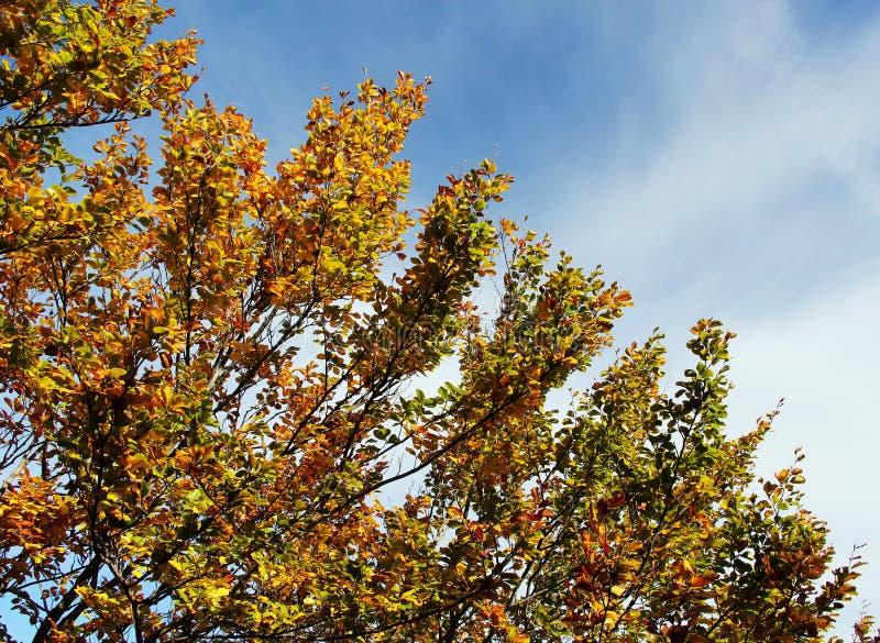 Faias no outono, nos ramos e nas folhas imagens de stock royalty free