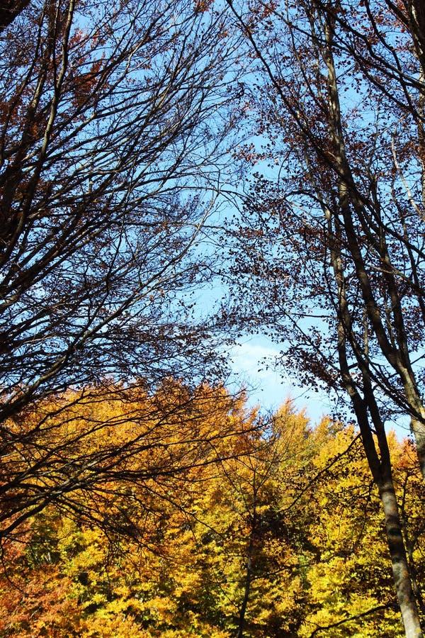 Faias no outono, nos ramos e nas folhas fotos de stock royalty free