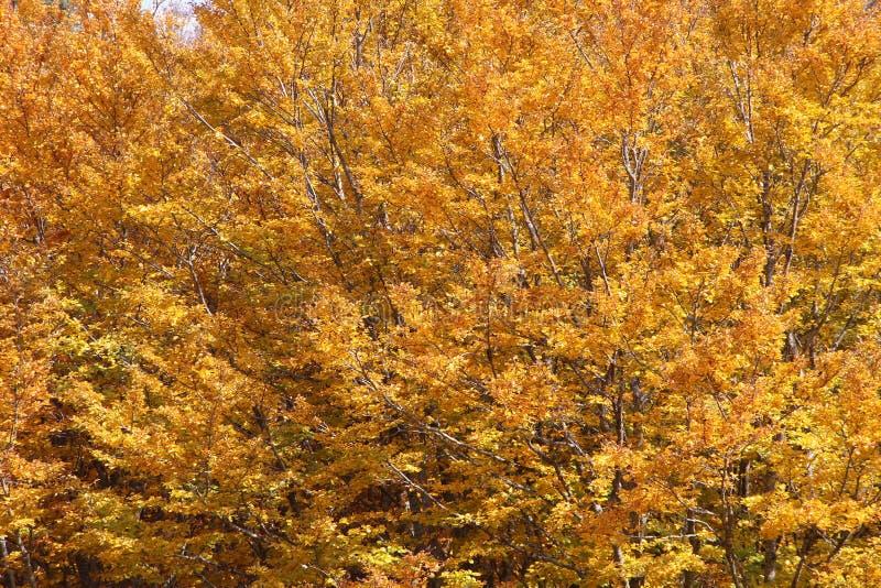 Faias no outono, nos ramos e nas folhas imagem de stock