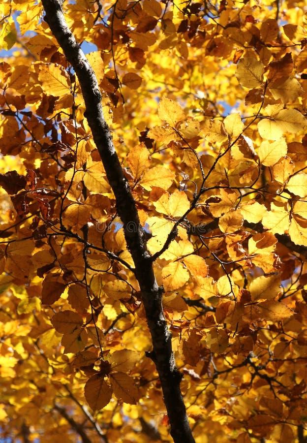 Faias no outono, nos ramos e nas folhas fotografia de stock royalty free