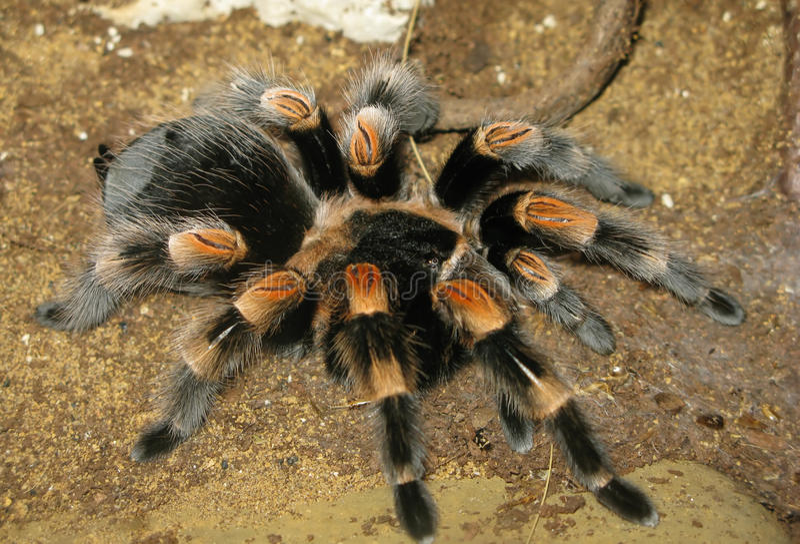 Faible tarantula rouge images stock