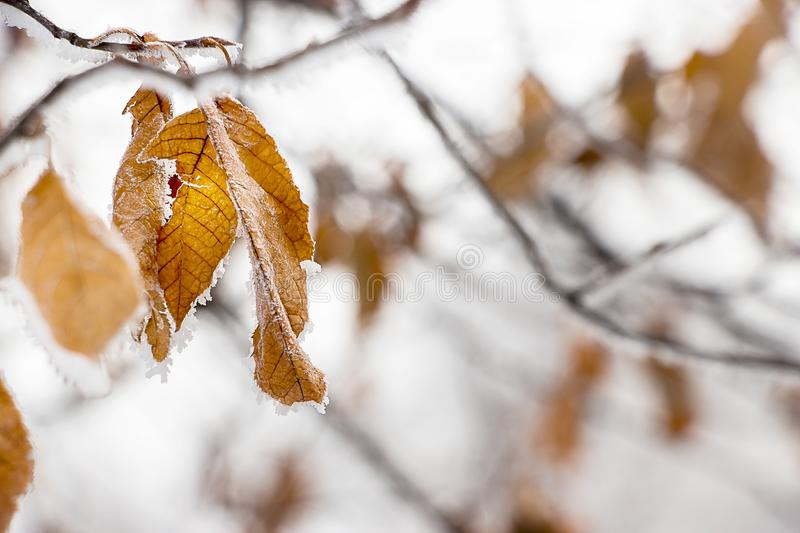Faint yellow leaf of bird cherry tree with hoarfrost on branch. stock photo