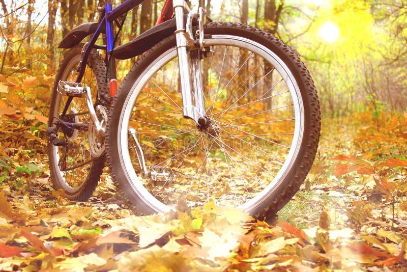 Faire du vélo de montagne dans la forêt d'automne sur le fond du beau coucher du soleil jaune parmi les arbres jaunes d'automne image stock
