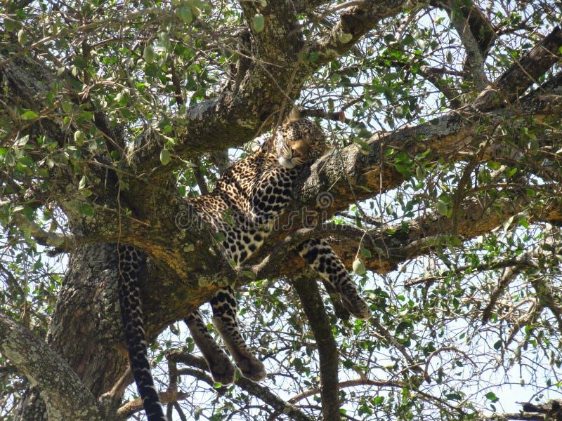 Faire une sieste attrapé par léopard photographie stock