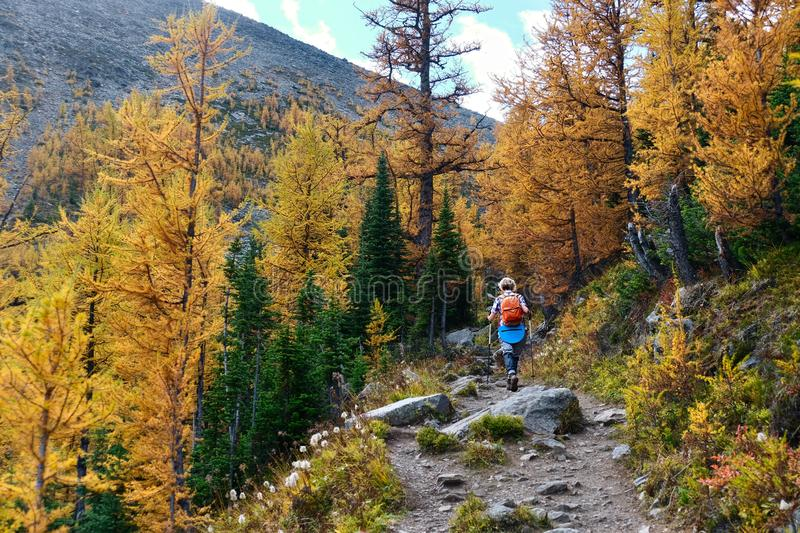 Adult woman hiking among golden Larches in Banff National Park. royalty free stock images